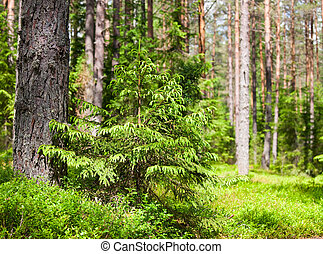 Summer forest - Young spruce at sunny summer forest