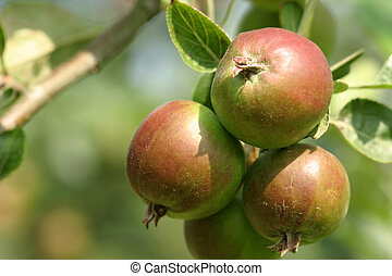 Summer Fruits - Apples ripening under a hot July sun.