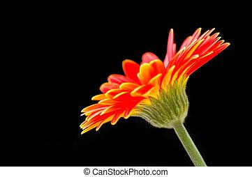 summer gerber - single bright gerber flower close-up on...