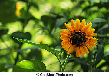 Summer green background with blooming sunflowers, blurred behind, selective focus, shallow depth of field