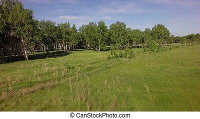 Summer green birch forest. West Siberian Plain. Omsk region.