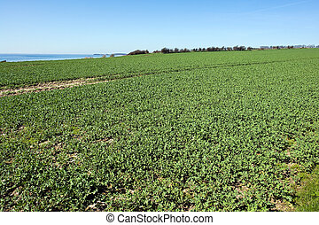 Summer green field sea agriculture background