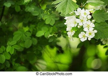 Summer green natural background, blooming hawthorn, blurred image, selective focus, shallow depth of field