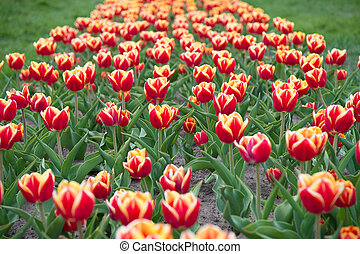 Summer holidays. beauty of blooming field. famous tulips festival. Nature Background. group of bright holiday tulip flowerbed. Blossoming tulip fields. spring landscape park. country of tulip