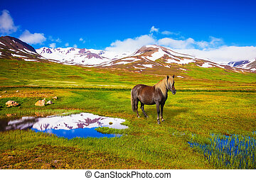 Chestnut Icelandic horse grazing in the meadow