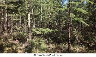 Summer impassable taiga in Klyuchevskoy Nature Park stock...