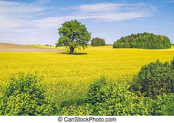 Summer in Latvia. View rape meadow in Cesis.