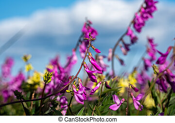 summer in the tundra, wildflowers
