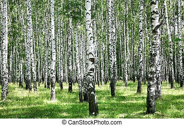 Summer july view of birch grove in sunlight