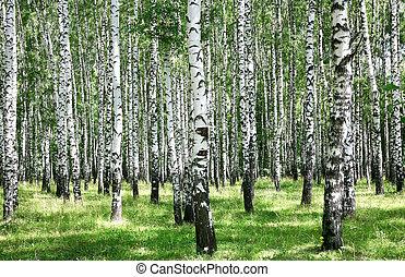 Summer july view of birch grove in sunlight