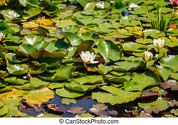 Summer lake with water-lily flowers and green leaves on blue water