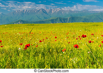 summer landscape - a beautiful poppy field blooming at the foot of high glaciers in the mountains of Armenia
