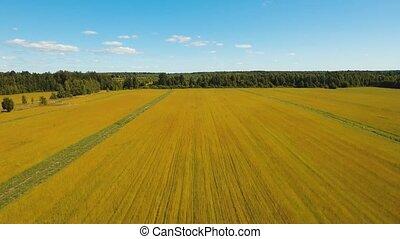 Summer landscape, a field of flax