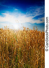 Golden field and wonderful sky with clouds by summer.