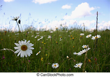 Clear summer landscape with daisies. Focus on the flowers at the front.