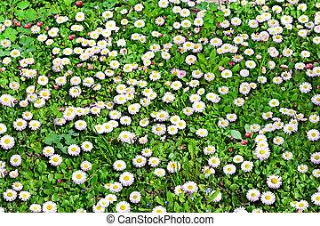 summer landscape. daisy flowers