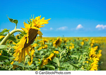Summer landscape. Field of sunflowers under the blue sky