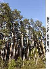 summer landscape in a pine forest