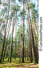 Summer landscape in a pine forest.