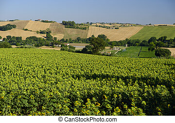 Summer landscape in Marches (Italy) near Jesi