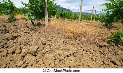 Summer landscape of vineyards at the foot of mountain...