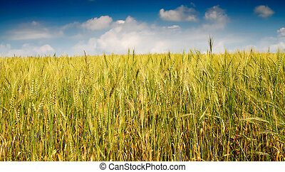 Summer landscape of wheat field.