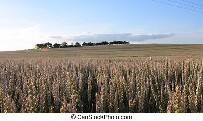 Summer landscape Panoramic view of corn field.