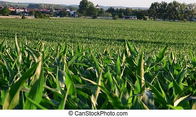Summer landscape Panoramic view of maize field.