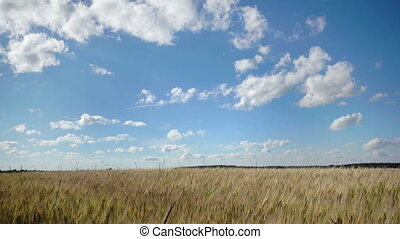 Summer landscape, the field of ripe wheat and the sky with white clouds in summer sunny day