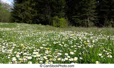 Summer landscape, valley with camomile flowers surrounded by green forest