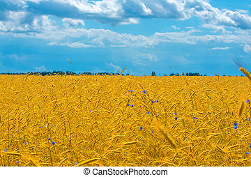 Summer landscape. Wheat on the cob at the ripening stage. Cob ripe barley in a field, an agricultural field on which grow up cereals