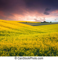 Summer Landscape with a field of yellow flowers. Sunset