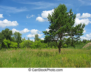 Summer landscape with a lonely pine-tree