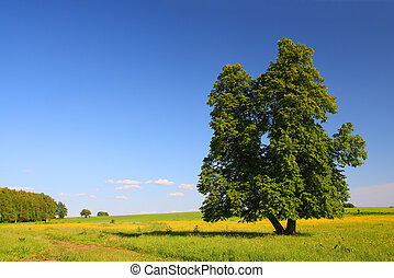 summer landscape with lime-tree