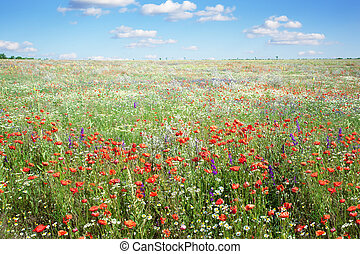 Summer landscape with poppies flowers