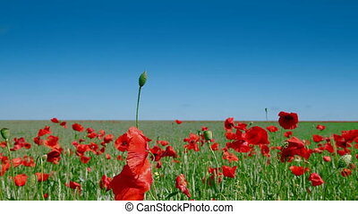 Summer landscape with red poppies in green wheat and blue sky