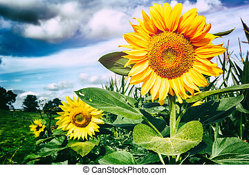 Summer landscape with sunflowers