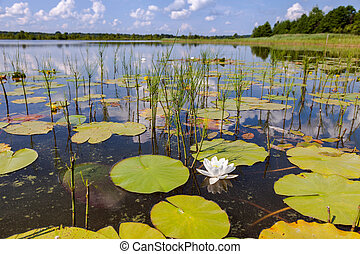Summer landscape with water lilies on a sunny day