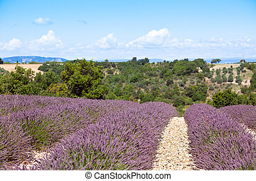Summer lavender field in Provence, France