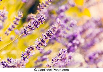summer lavender flowering in garden
