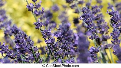 summer lavender flowering in garden, close up with shallow...