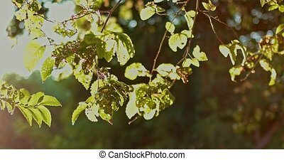 Summer Leaves With Sun Light Branch Footage - Summer Leaves...