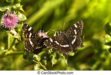 Summer Map butterflies or Araschnia levana on thistle flowers