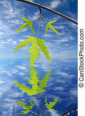 Summer Maple Leaf Abstract - Summer Maple Leaves Reflected...