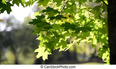 summer maple leaves on sunny day