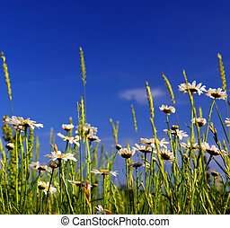 Summer meadow background with blooming daisy flowers and...