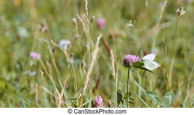 summer meadow bending by the wind - Tall clover flowers in...
