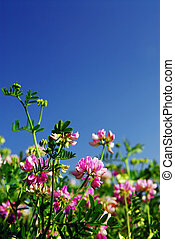 Summer meadow with blooming pink flowers crown vetch and bright blue sky