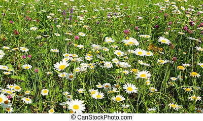 summer meadow with daisies - slider dolly shot