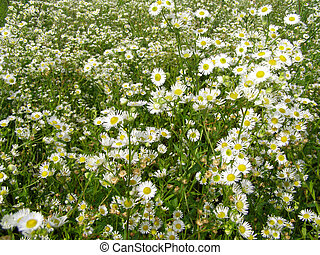 summer meadow with the white flowers